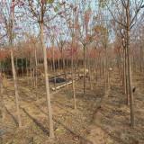 5公分丝绵木多少钱一颗 基地供应丝绵木树苗