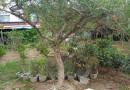 5公分石榴树价格 江苏8-10公分石榴树多少钱