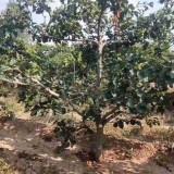 基地批发10公分18公分山楂树价格多少钱
