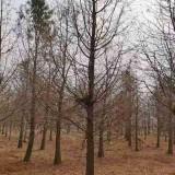 10公分水杉树价格 基地12公分15公分水杉树批发