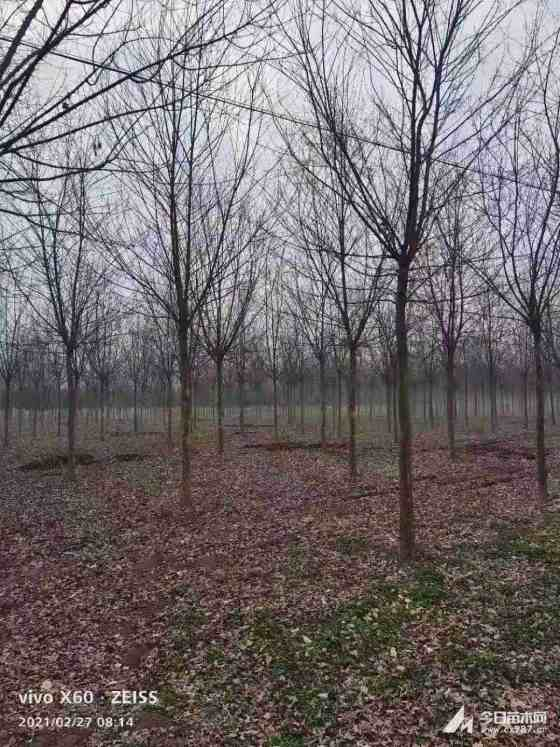 8公分三角枫树多少钱一棵 8至10公分三角枫树价格