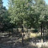 5公分香樟树价格 基地5至15公分香樟树报价