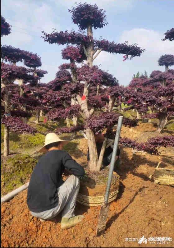 造型红花继木古桩批发  红花继木造型树价格