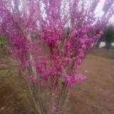 4公分紫荆价格 5公分紫荆树多少钱一棵