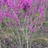 丛生紫荆价格 1米丛生紫荆多少钱一棵