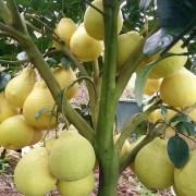 柚子树基地批发 四川柚子树