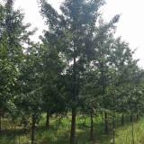 江苏银杏树批发 5公分银杏树树苗多少一棵