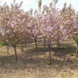 6公分樱花树多少钱一棵 基地批发樱花树苗