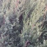 刺松小苗价格 绿化刺松多少钱一棵