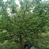 杏树苗多少钱一棵?四川杏树基地
