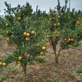 橘子树价格 四川橘子树 桔子树