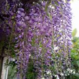 紫藤树批发 江苏8-12公分紫藤树价格是多少