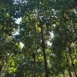 哪里有卖楸树 20-30公分楸树多少钱一棵