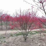 18公分日本红枫多少钱一棵 江苏日本红枫报价