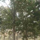 15公分20公分青桐树上车价 基地批发青桐树苗