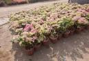 三角梅盆苗多少钱一棵 江苏三角梅盆栽价格
