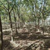 苦楝基地批发 10公分苦楝树市场价是多少