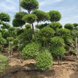 20公分小叶女贞桩价格 小叶女贞造型树多少钱一颗