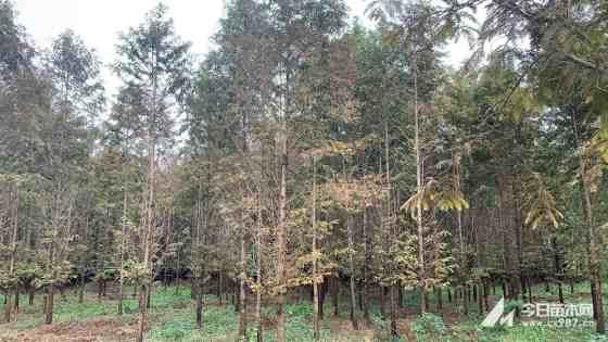 胸径12公分水杉价格 江苏水杉基地