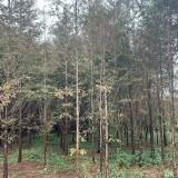 求购10公分水杉 15公分水杉价格