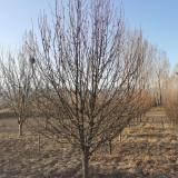12公分八棱海棠树价格 河北八棱海棠