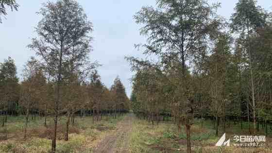 水杉大苗价格 15公分水杉哪里有