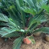 苏铁盆栽 高度50公分苏铁盆栽价格