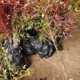 红火焰南天竹多少钱一棵 50公分南天竹苗价格