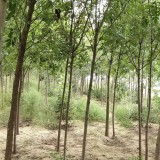 3公分白蜡树多少钱一棵 基地白蜡树价格