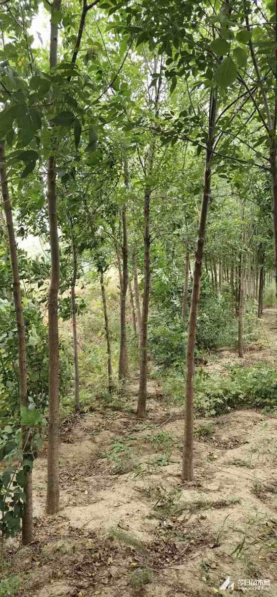 3公分白蜡树批发 白蜡树种植基地