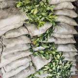 江苏海桐小苗 高50-60公分海桐苗多少钱一棵