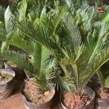 苏铁树多少钱一棵 高1米1.5米苏铁价格