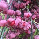 丝棉木树苗价格 1公分2公分丝棉木小苗批发