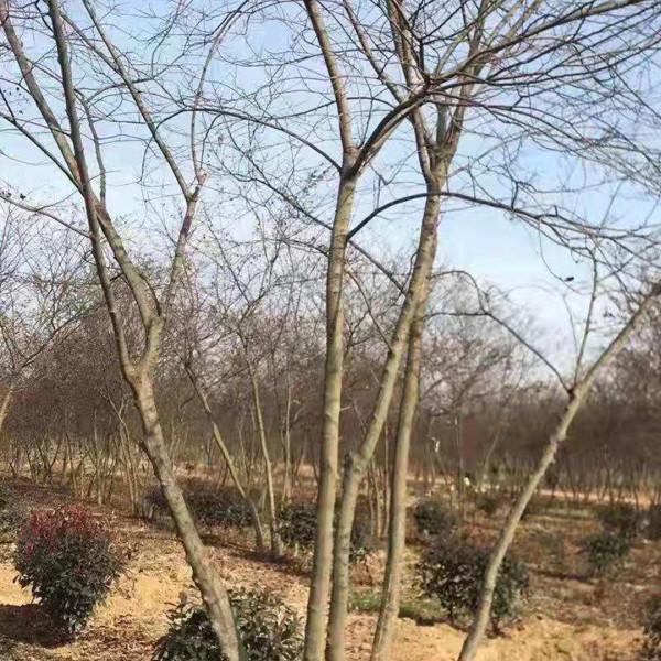 冠4米丛生朴树基地批发多少钱一棵