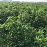 四季玫瑰营养杯苗价格 基地四季玫瑰杯苗批发