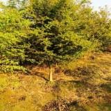 12公分鸡爪槭多少钱一棵 15~18公分鸡爪槭价格表