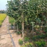 5公分丁香树价格 7公分丁香树多少钱一棵