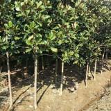 5公分广玉兰树苗价格 8公分广玉兰树多少钱一棵