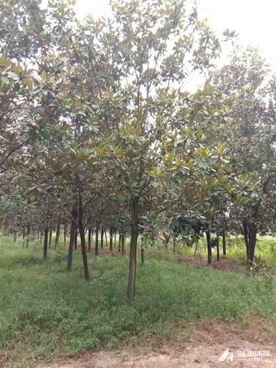 5公分广玉兰种植基地  8公分广玉兰批发供应
