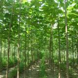 4公分泡桐苗价格 基地泡桐树苗哪里有卖的