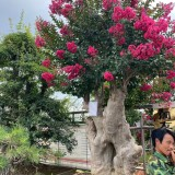红花紫薇树苗多少钱一棵 红花紫薇造型树价格