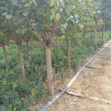 3公分丁香树苗10公分丁香树价格多少钱一棵
