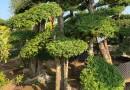 造型女贞树多少钱一颗 基地造型女贞树价格