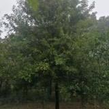 5公分娜塔栎价格多少钱一棵 娜塔栎基地批发