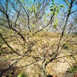 10公分板栗价格 板栗种植基地