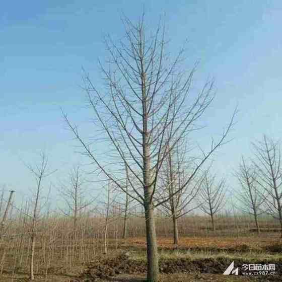 米径8公分银杏树5公分银杏树树苗多少一棵