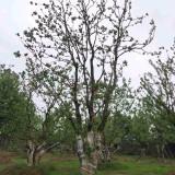 江苏乌桕批发 6公分乌桕树价格多少钱一棵