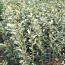 1米北海道黄杨价格 1.2米北海道黄杨苗多少钱一棵