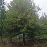 娜塔栎价格 米径5公分娜塔栎价格