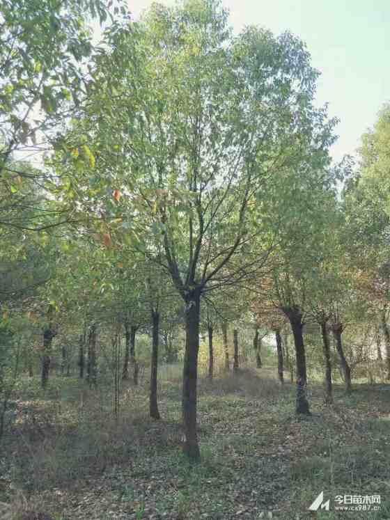 截杆香樟树批发价格  基地供应10公分截杆香樟